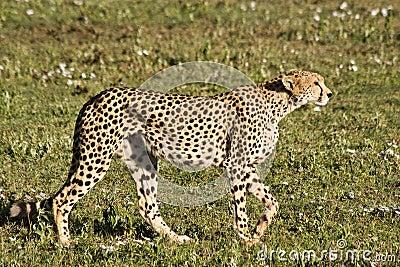 Besluipende Jachtluipaard in Serengeti