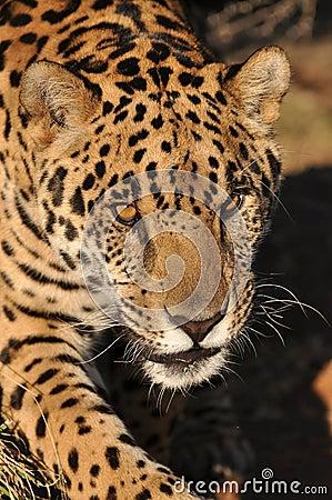 Besluipende jaguar