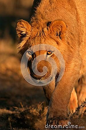 Besluipende leeuw