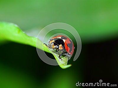 Besouro vermelho
