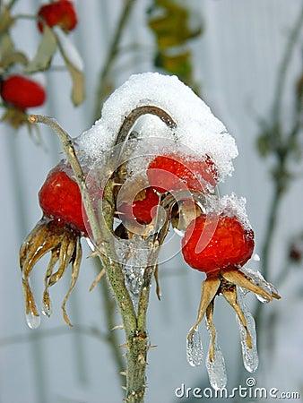 Bessen onder sneeuw