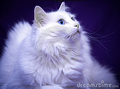 Best of Breed Cat