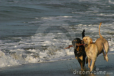 Best Friends Dogs Playing on a Beach
