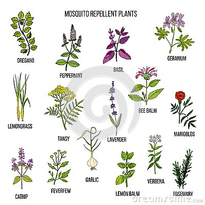 Free Best Mosquito Repellent Plants Royalty Free Stock Photos - 103046668