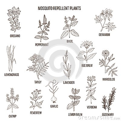 Free Best Mosquito Repellent Plants Stock Photos - 103112823