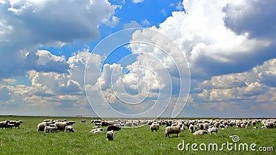 Beta för får