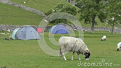 Betande gräs för får i campingplats lager videofilmer
