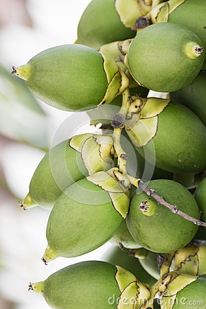 Betel Nut Or Are-ca Nut Palm On Tree