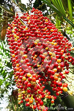 Free Betel Palm Royalty Free Stock Image - 14405386