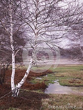 Betulla bianca nana