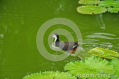 Bevattna fågeln och näckrosen i damm