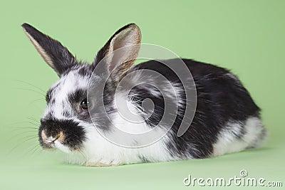 Bevlekt geïsoleerd konijntje,