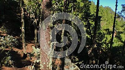 Bewegende pijnbomen op het hout stock video