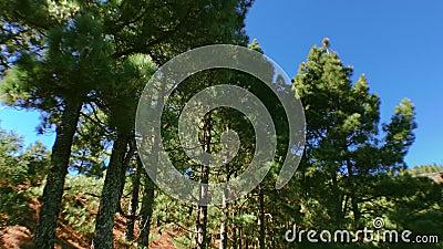 Bewegende pijnbomen op hout 4 stock video