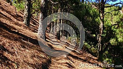 Bewegende pijnbomen op hout 4 stock videobeelden