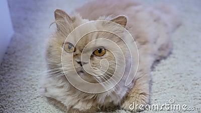 Bewegung der persischen Katze beim Beobachten und Spielen mit zuhause stock video