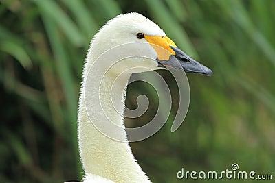 Bewick s swan