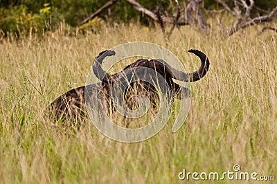 Büffelflüchtiger blick