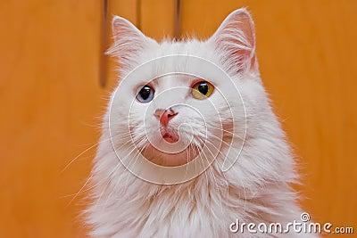 Bi-colored eye white cat
