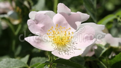 Bi på en rosa blomma