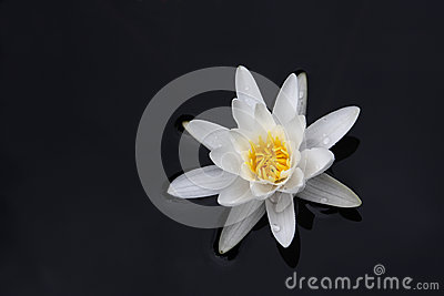 Biała wodna leluja