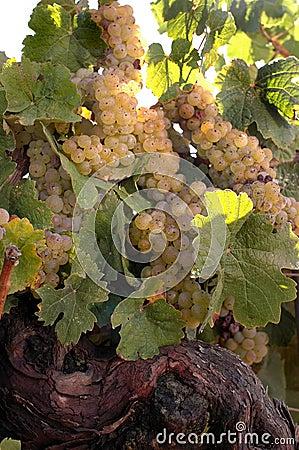 Białe wino winorośli