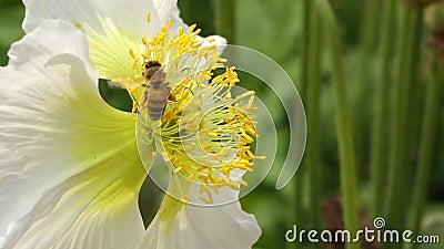 Białego maczka kwiat z pszczołą zdjęcie wideo