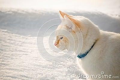 Biały kot w śniegu