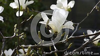 Biały kwiat magnolii nad ciemnością zdjęcie wideo