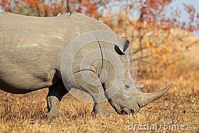 Biała nosorożec