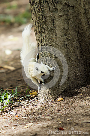 Biała wiewiórka
