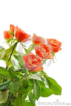 Biały odosobnione pomarańczowe róże