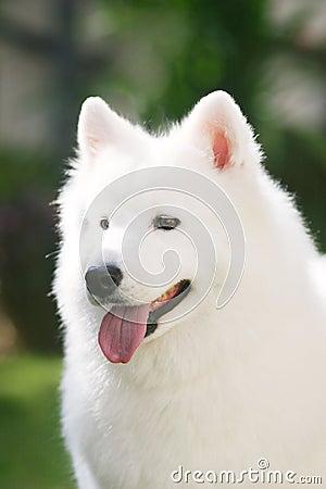 Biały pies