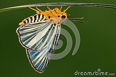 Bibasis gomata/male/butterfly