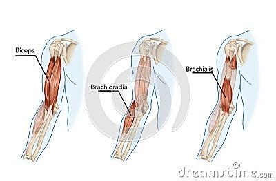 Biceps,  Brachii, Brachioradial