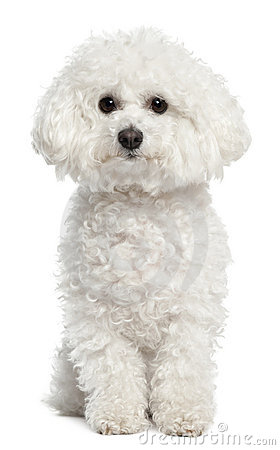 Free Bichon Frise, 5 Years Old, Sitting Stock Photography - 23088762