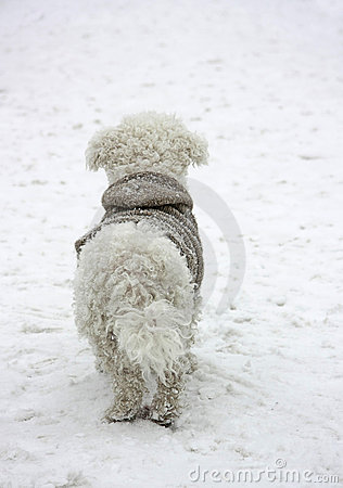 Bichon Frise dog in coat