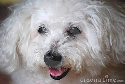 Bichon Frise Dog-A Portrait
