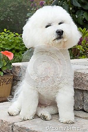 Bichon Frise posing