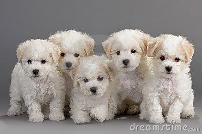 Bichon Puppies on Stock Images  Bichon Frise Puppies  Image  17015924