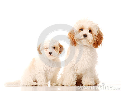 Bichon frise type dogs on white background