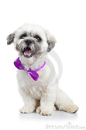 Bichon havanese puppy wearing a purple ribbon