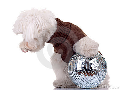Bichon  playing with disco ball