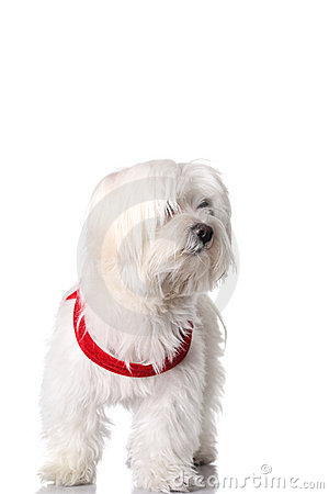 Free Bichon Puppy Royalty Free Stock Photos - 13959168