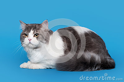 Bicolor highland straight cat