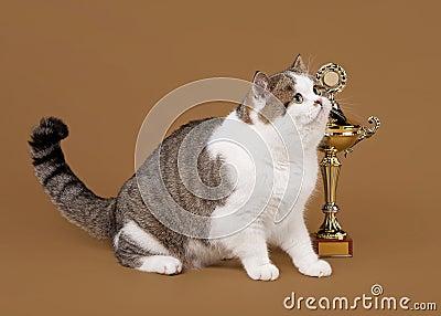 Bicolor scottish straight cat