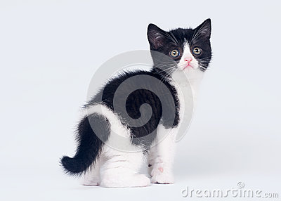 Bicolor scottish straight kitten