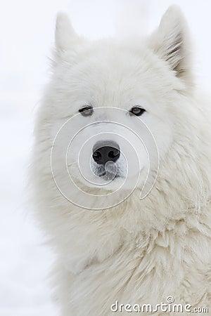 Biegowy sleddog