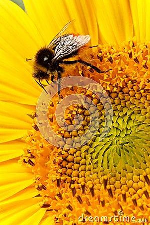 Biene auf Sonnenblumenahaufnahme