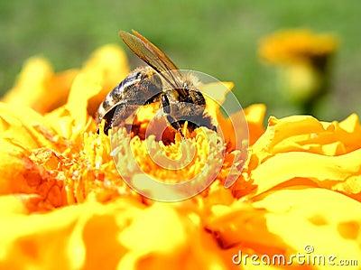 Biene der Bienen-